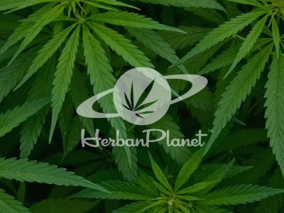 Fast-growing HERBAN PLANET Looks to Buy 10 Cannabis Companies in 2019