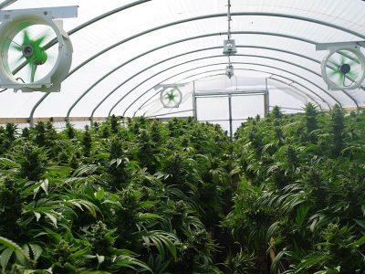 Best Method for Harvesting Marijuana