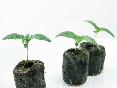 Master the first stages of growing your sun-grown cannabis