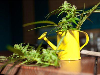 Is Cannabis Good for Companion Gardens?