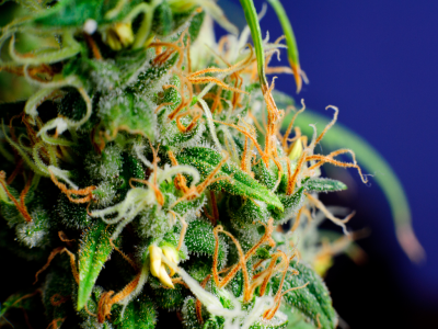 Cannabis 101: What are Terpenes?